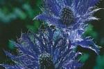 P46Eryngium BlueJackpot