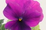 よく咲くスミレ プルーン (2)
