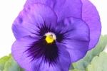 よく咲くスミレ ブルーハワイ (2)