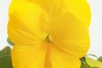 よく咲くスミレ パイナップル (2)